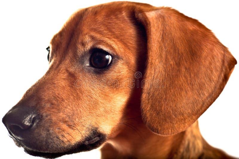 dachshund απομονωμένο λευκό κο&upsil στοκ φωτογραφία