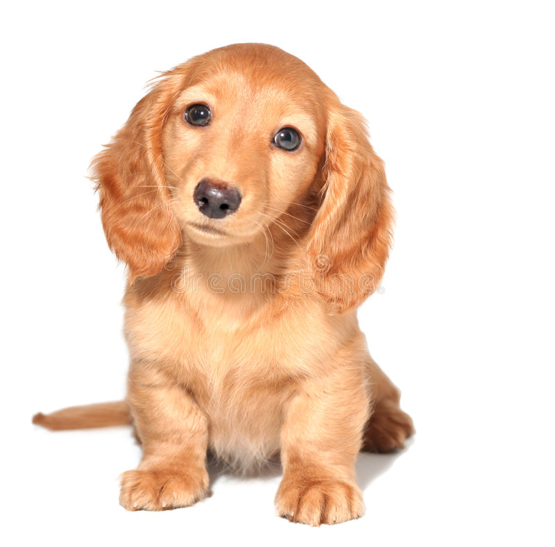dachshund κουτάβι στοκ εικόνα με δικαίωμα ελεύθερης χρήσης