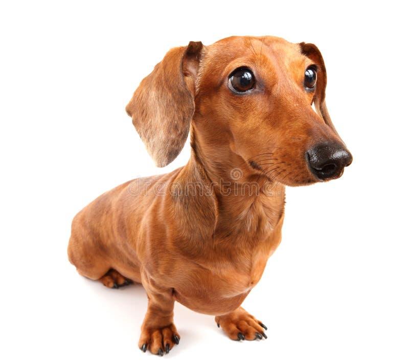 Download Dachshund σκυλί στοκ εικόνες. εικόνα από συνεδρίαση, χαριτωμένος - 22789108
