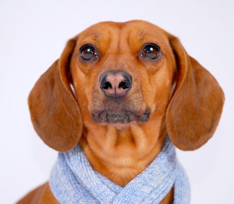 dachshund φθορά μαντίλι στοκ φωτογραφίες