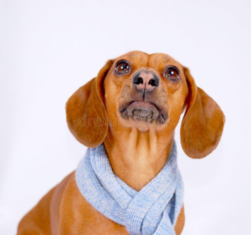 dachshund φθορά μαντίλι στοκ φωτογραφία με δικαίωμα ελεύθερης χρήσης