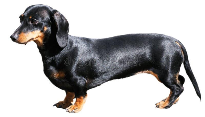 dachshund над белизной стоковое фото