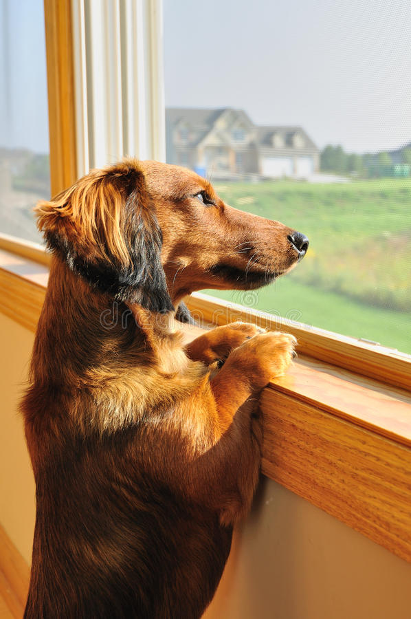 dachshund смотря миниатюрное вне окно стоковая фотография rf