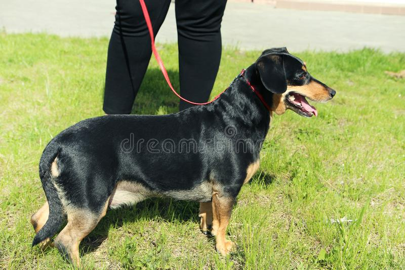 dachshund royalty-vrije stock afbeeldingen