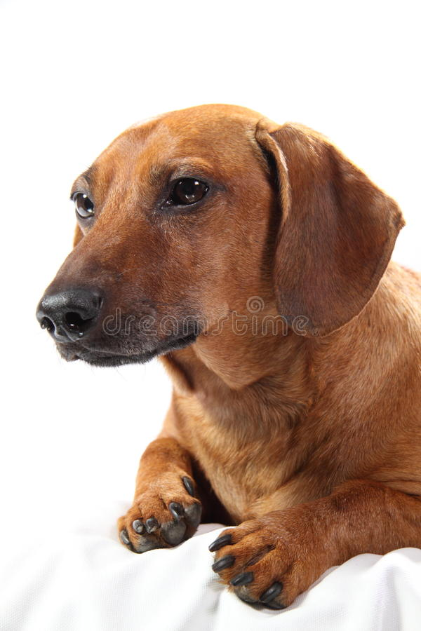 dachshund στοκ εικόνες με δικαίωμα ελεύθερης χρήσης