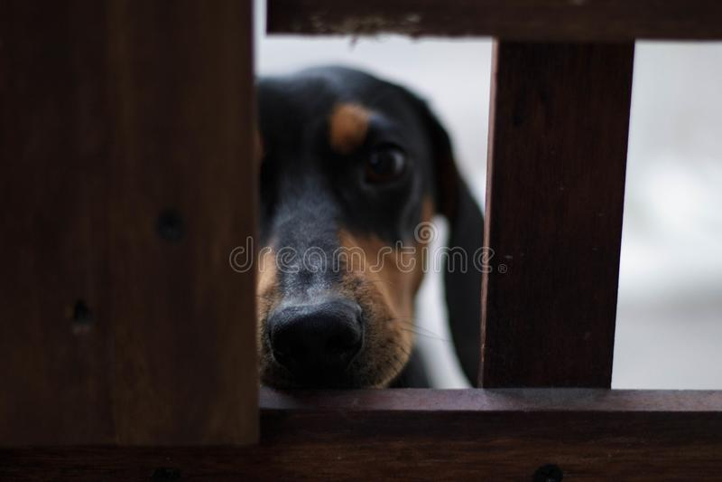 dachshund foto de stock royalty free