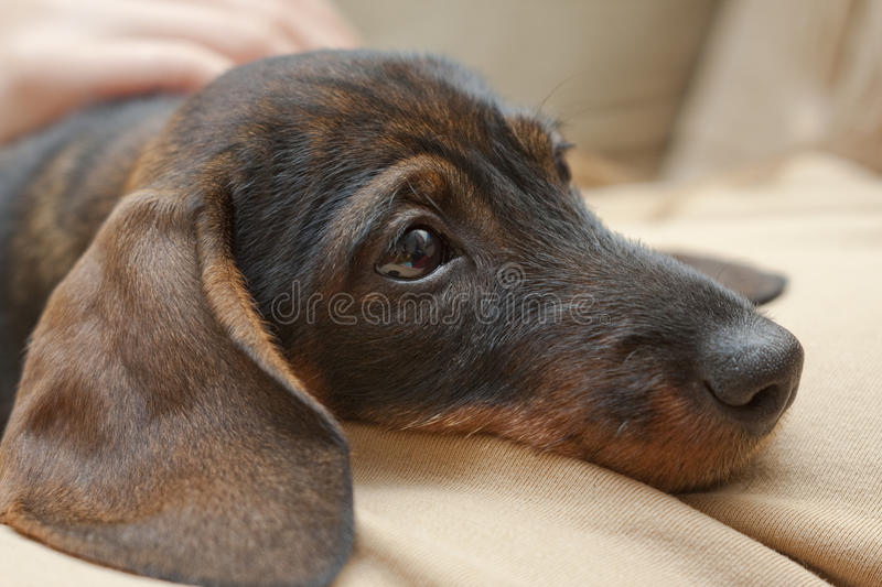 Download Dachshund stock image. Image of cute, humor, domestic - 12566943