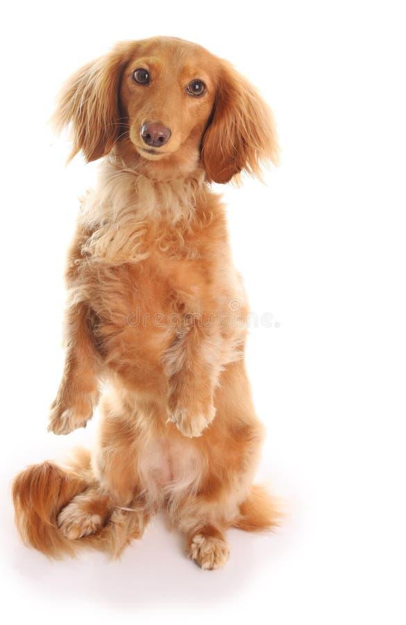 dachshund стоковое изображение