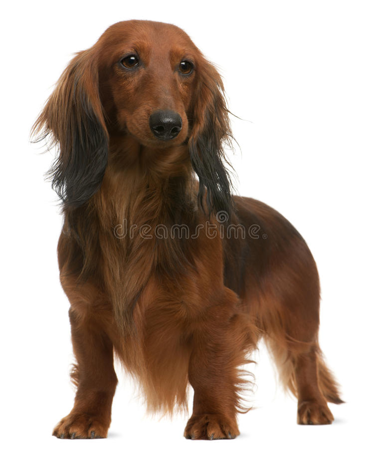 Dachshund, 2 years old, standing royalty free stock photos