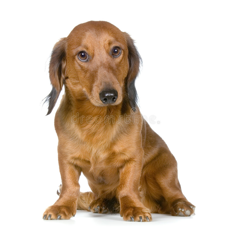 dachshund στοκ εικόνες