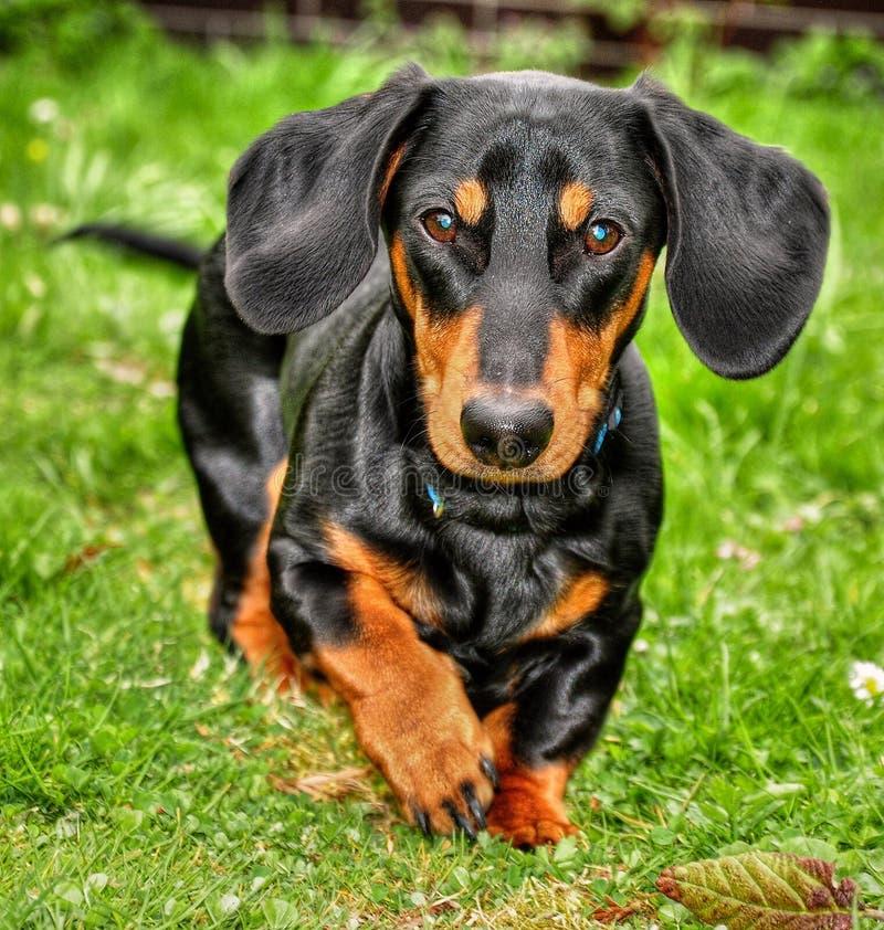 dachshund стоковая фотография rf