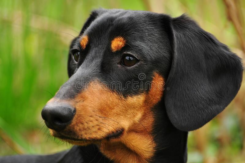 Dachshund fotos de stock royalty free