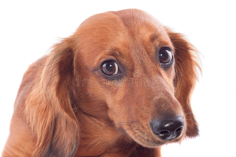 Download Dachshund stock photo. Image of pets, portrait, isolated - 25303514
