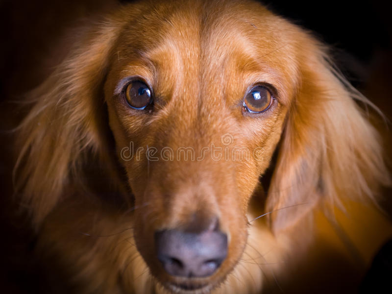Dachshund. Sad dachshund face stares at camera stock images