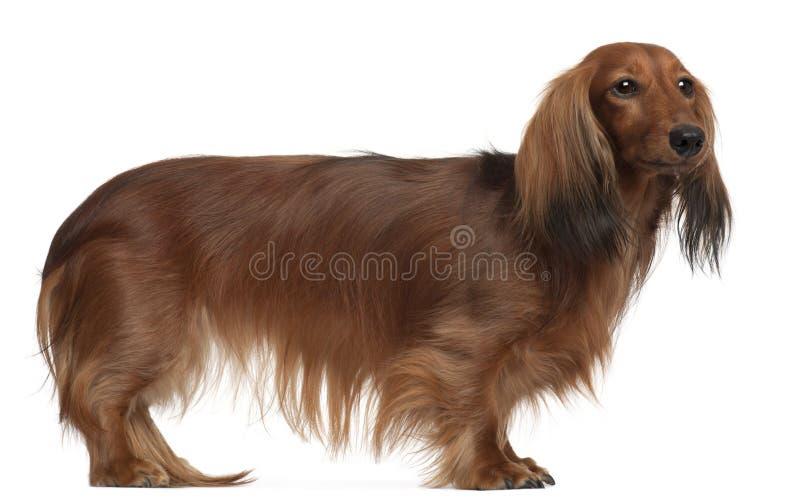 Dachshund, 3 anos velho, posição fotografia de stock royalty free