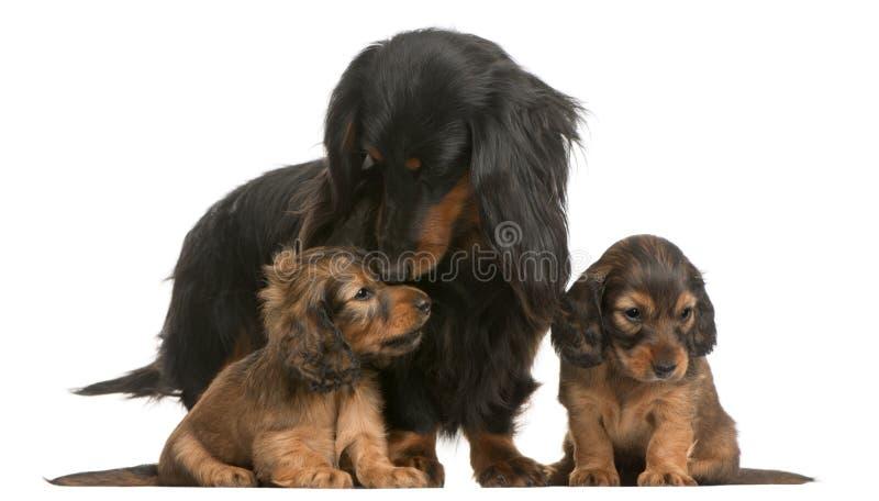 dachshund 4 αυτή παλαιά έτη κουταβι στοκ εικόνες