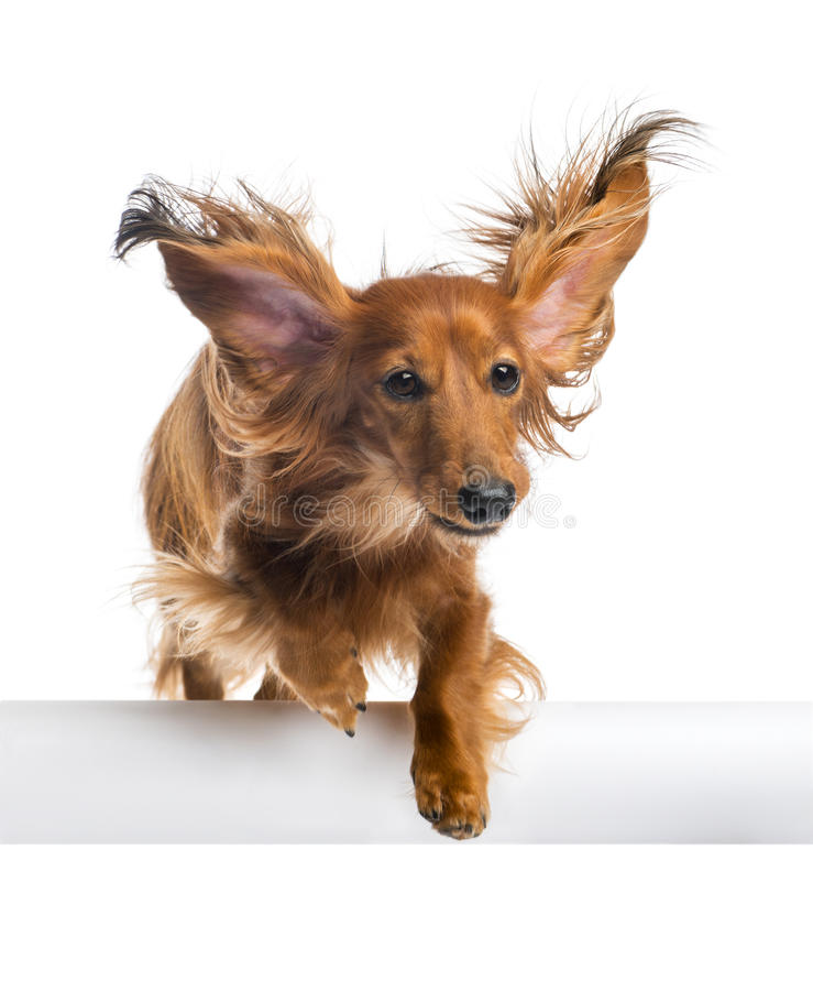 Download Dachshund, 4 Years Old, Jumping Over White Tube Stock Photo - Image of white, nobody: 29009542