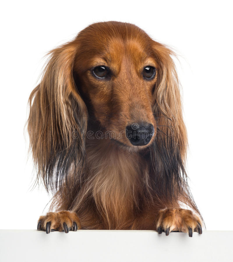 Download Dachshund, 4 Years Old, Leaning On A White Plank Stock Image - Image: 29009187
