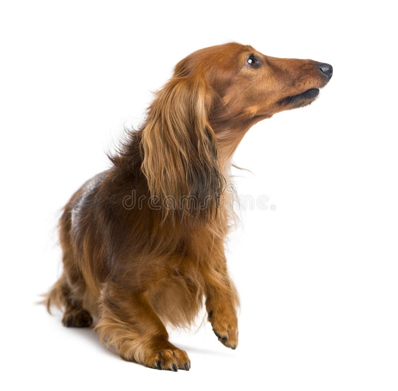 Dachshund, 4 Years Old, Looking Up Stock Photo