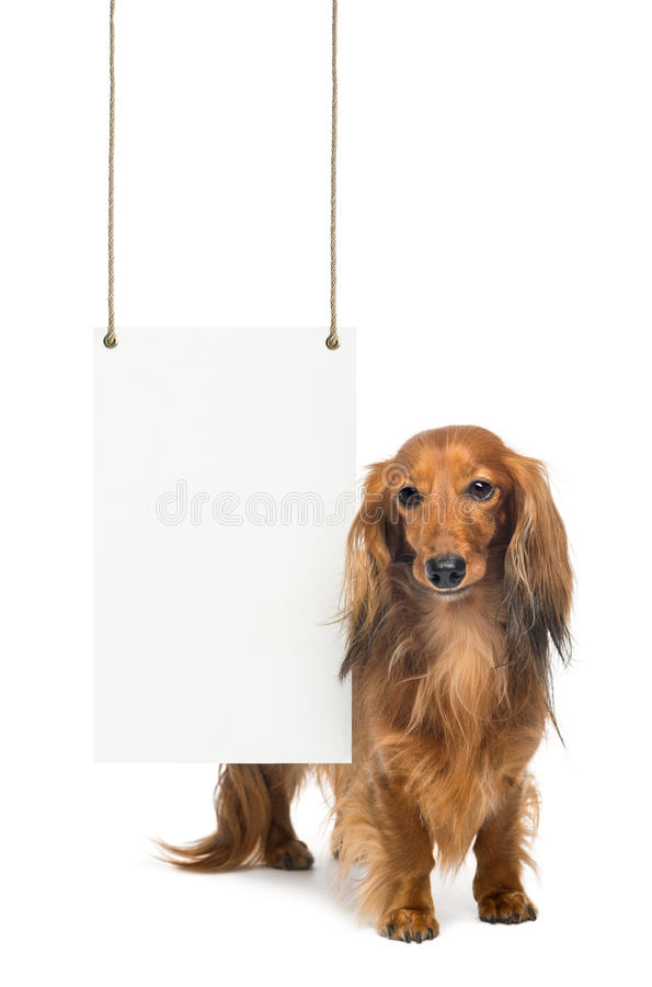 Download Dachshund, 4 Years Old, Standing Stock Image - Image: 29009479