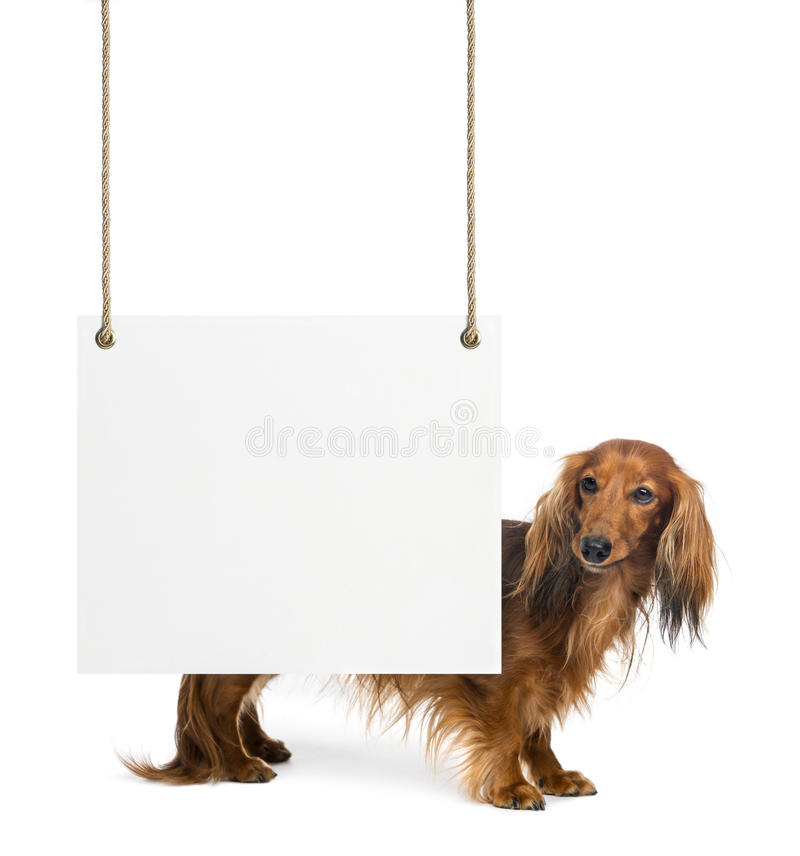 Download Dachshund, 4 Years Old, Standing Stock Photo - Image: 29009484