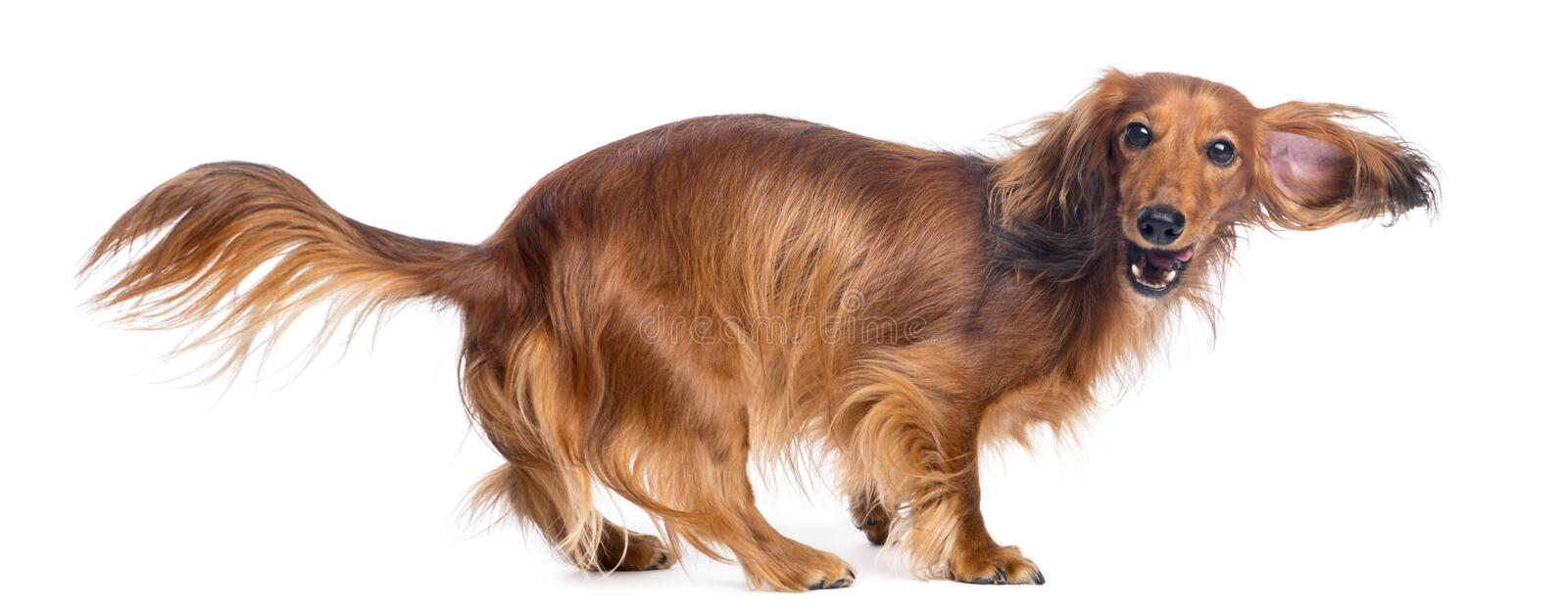 Download Dachshund, 4 Years Old, Walking Stock Photo - Image: 29008970