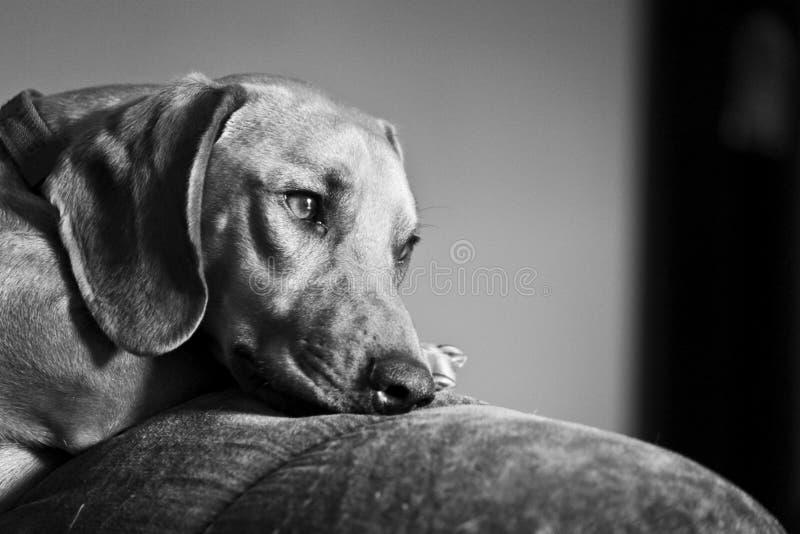 dachshund fotografie stock
