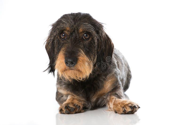 dachshund foto de stock