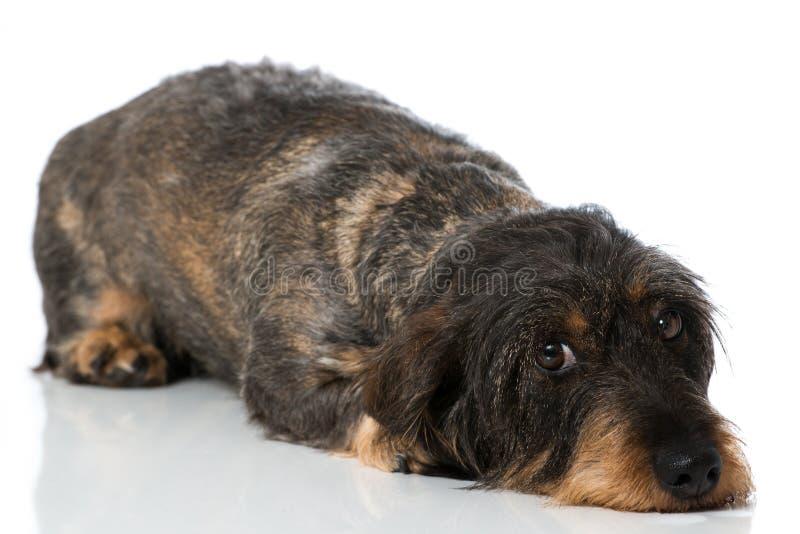 dachshund imagem de stock royalty free