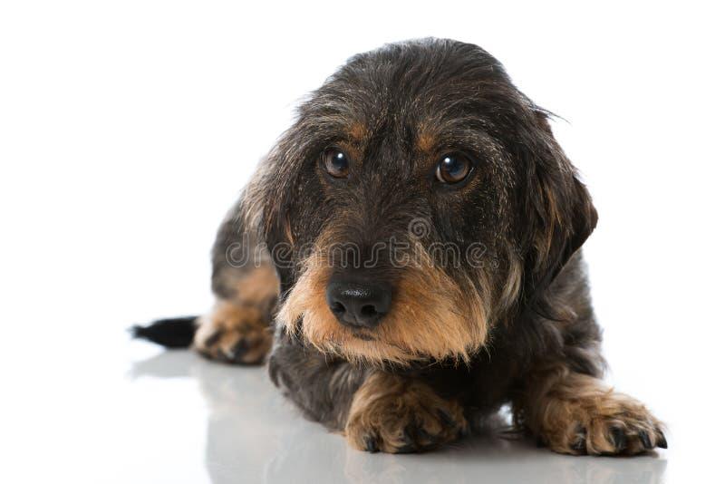 dachshund imagens de stock royalty free