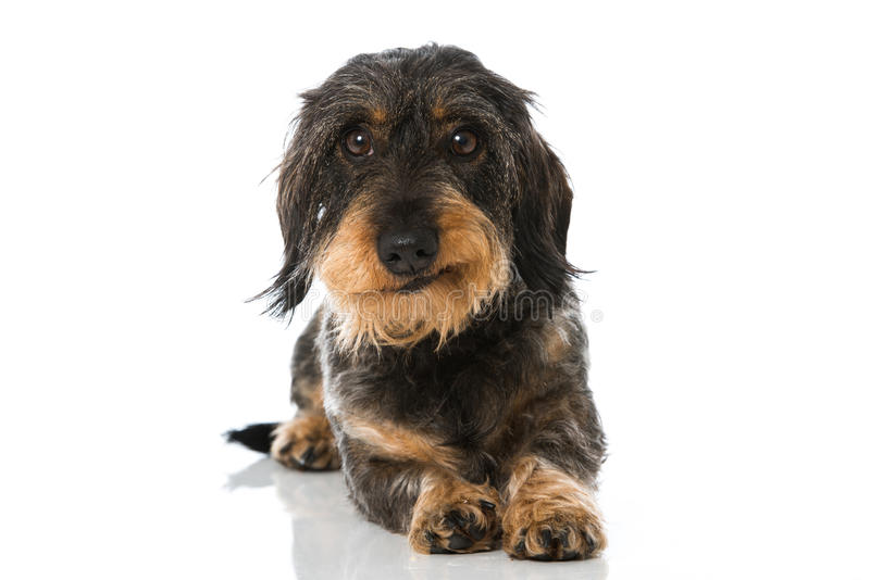 dachshund fotografia de stock royalty free