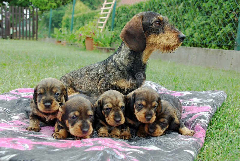 dachshund fotografia stock libera da diritti