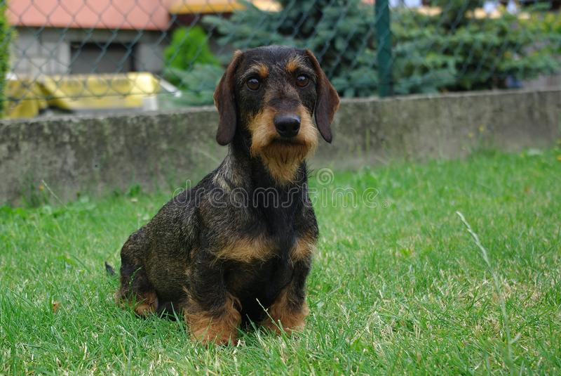 dachshund fotografie stock libere da diritti