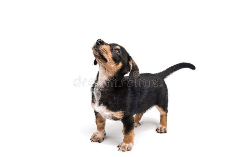 dachshund stockbild