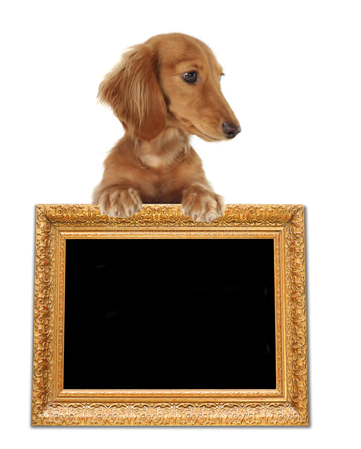 dachshund photo libre de droits
