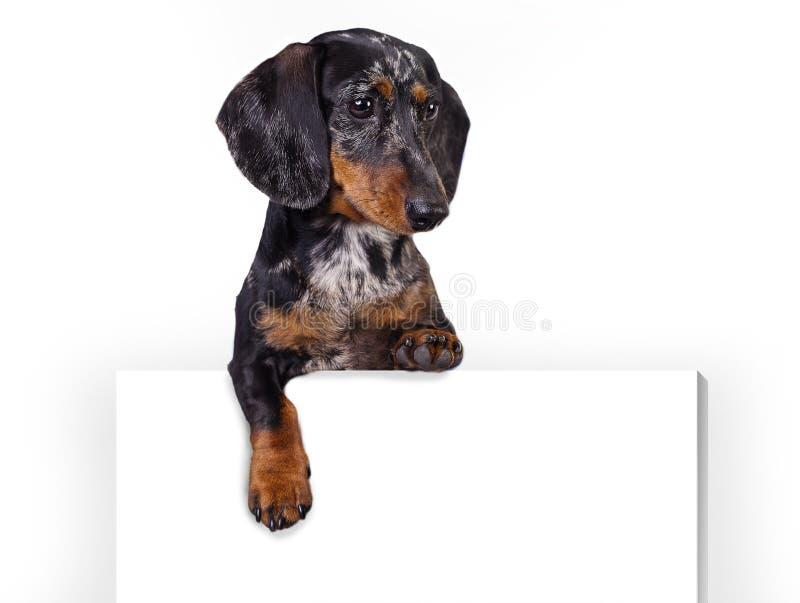 dachshund lizenzfreies stockfoto
