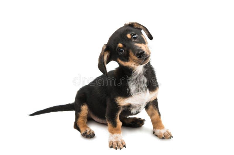 dachshund стоковые фотографии rf