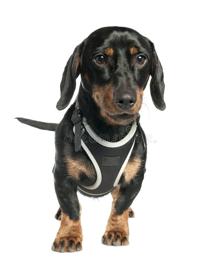 Download Dachshund (9 Months Old) Stock Photos - Image: 9051623