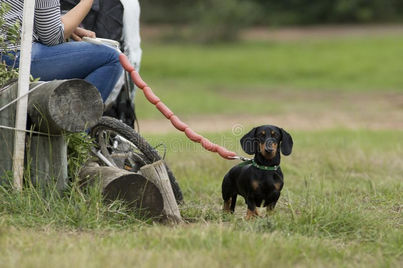 The dachshund with a sausage strap stock photos