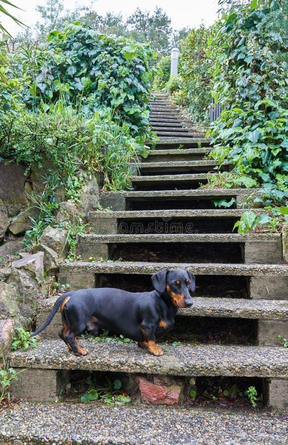Dachshund auf der Treppe lizenzfreie stockfotos