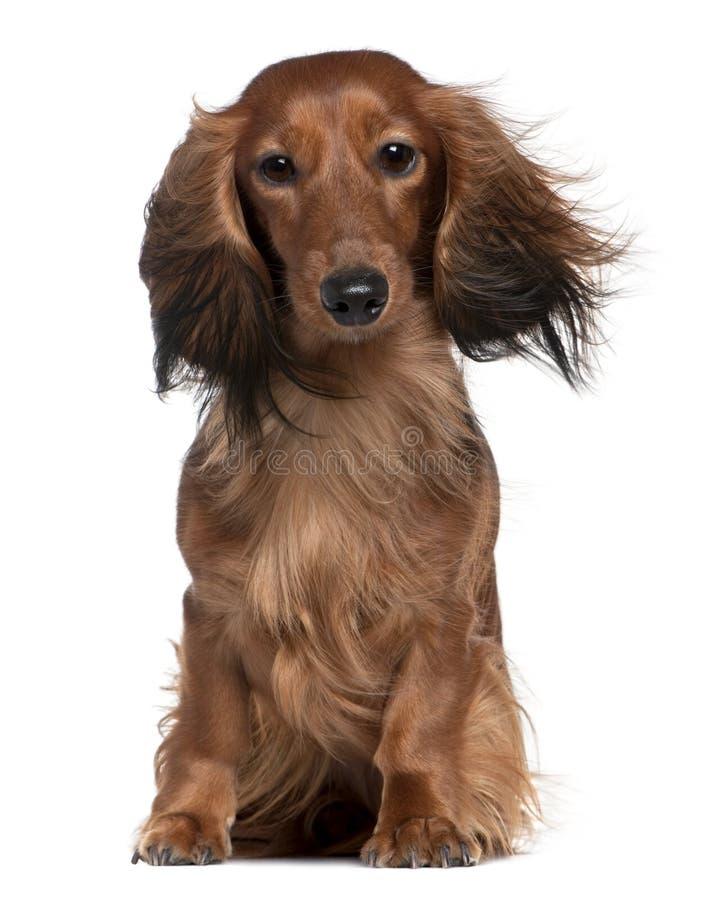 Dachshund avec son cheveu dans le vent photographie stock