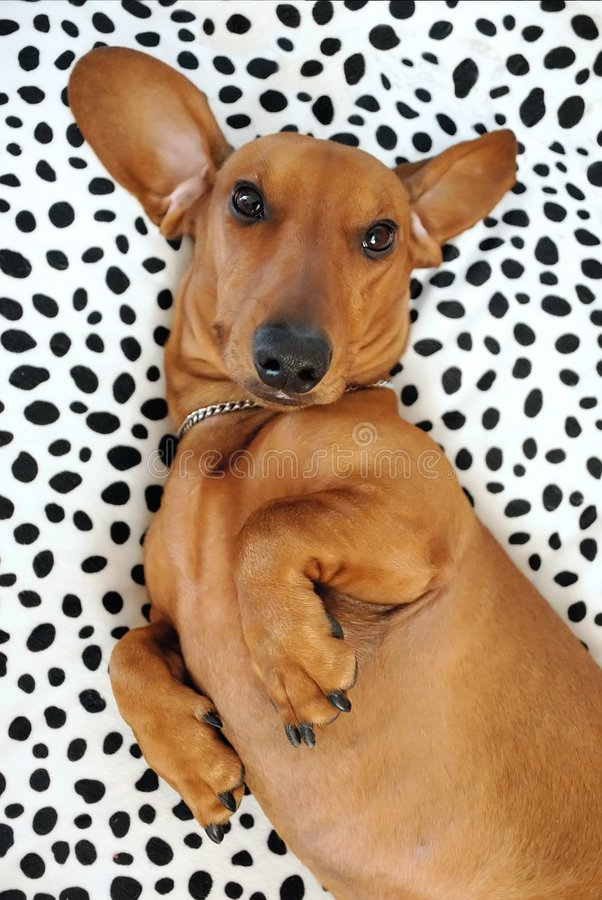 Dachshund in bed royalty free stock photos