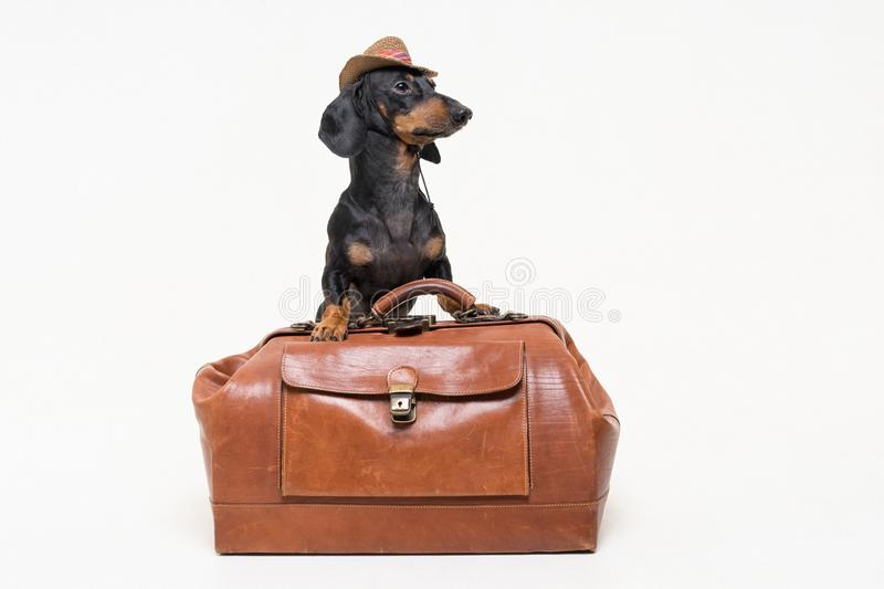 Dachshund breed dog, black and tan, in cowboy hat stands on vintage suitcase, is isolated on gray background royalty free stock photos