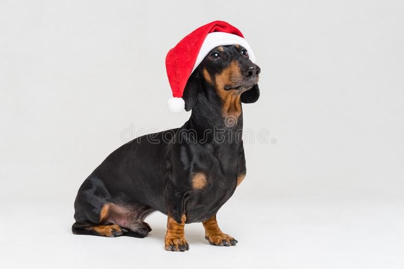 Dachshund breed dog, black and tan, dressed in red Christmas hat isolated on a gray background.  royalty free stock photography