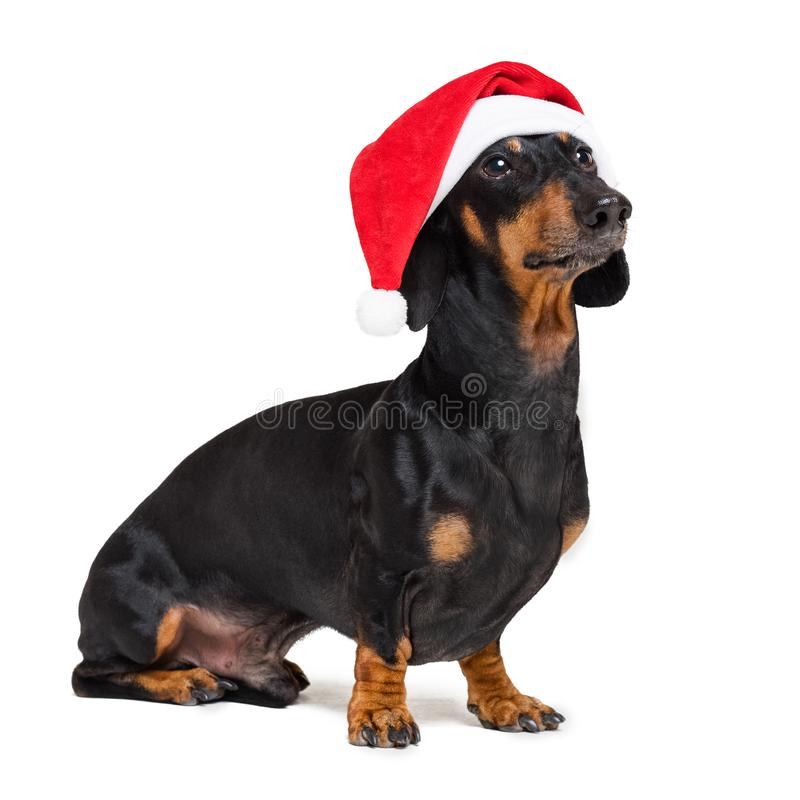 Dachshund breed dog, black and tan, dressed in red Christmas hat isolated on a white background.  stock image