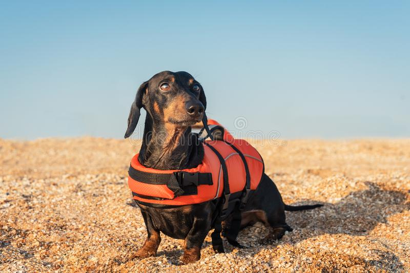 Dachshund breed dog, black and tan, wearing orange life jacket while standing on beach at ocean against the blue sky.  royalty free stock images