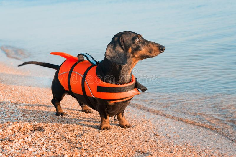 Dachshund breed dog, black and tan, wearing orange life jacket while standing on beach at sea against the blue sky.  royalty free stock images