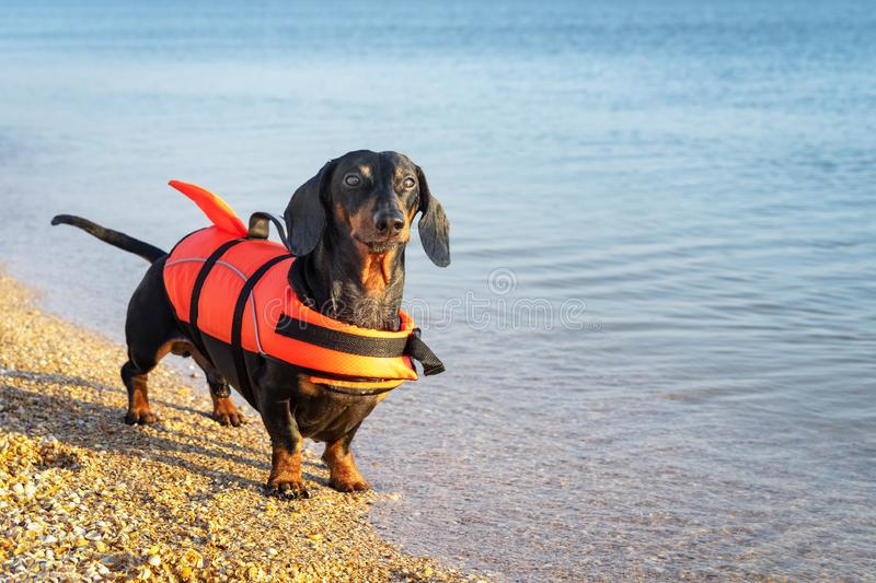 Dachshund breed dog, black and tan, wearing orange life jacket while standing on beach at sea against the blue sky.  stock photos