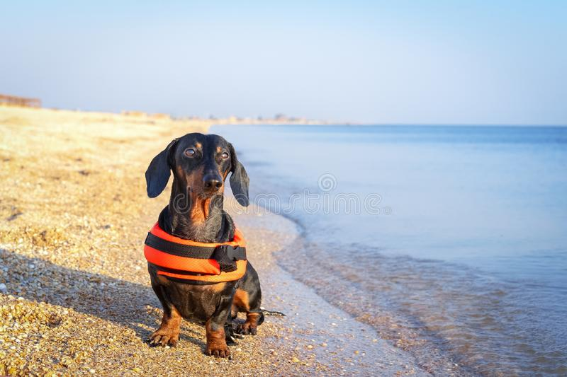 Dachshund breed dog, black and tan, wearing orange life jacket while standing on beach at sea against the blue sky.  royalty free stock photography