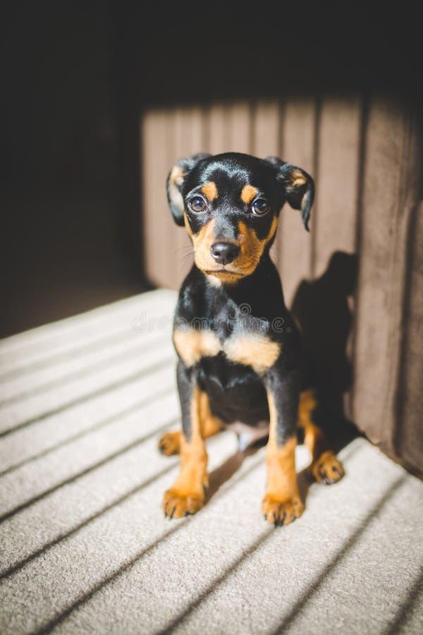Dachshund-Chihuahua-Welpe stockfotos